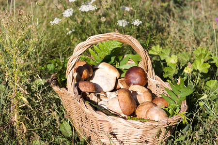 full basket of boletus mushrooms in the sunlight in a field Stock Photo
