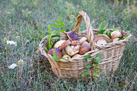 basket full of porcini mushrooms in a field in autumn