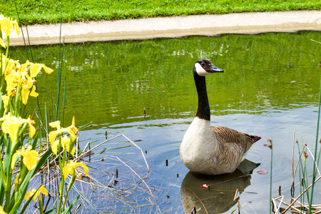 canadensis goose in a pond looking curious near yellow flowers Stock Photo