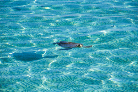 turtle comes out of the water taking a breath in a tropical turquoise sea water