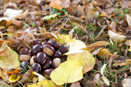 group of  beautiful chestnuts in colored  autumn leaves Stock Photo