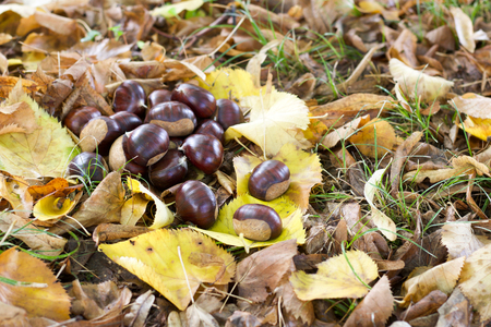 group of ripe  brown chestnuts and dry yellow leaves Stock Photo