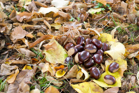 group of big chestnuts and fallen  yellow leaves