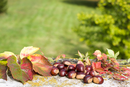 group of chestnuts near colored autumn leaves, nature background, copy space