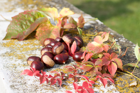 group of big chestnuts between autumn colored leaves Stock Photo