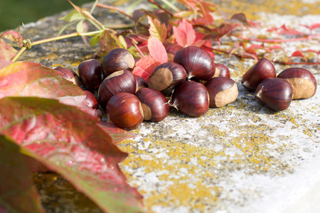 close up of chestnuts and colored leaves in autumn garden