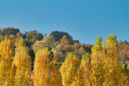 yellow peaks of poplars in autumn Stock Photo