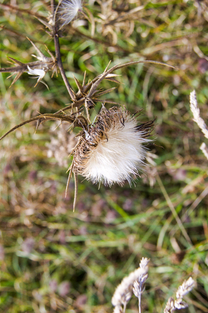 white dry thistle in a meadow, defocused background