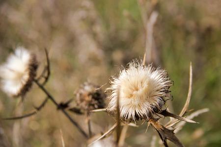 beautiful dry thistles in autumn in natur, defocused background