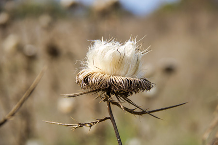 close up of one dry thistle in nature, autumn  season, defocused background
