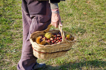 man hand walking in a field  holding a basket full of chestnuts