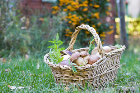 basket on the green grass full of porcini mushrooms, defocused background, copy space Stock Photo