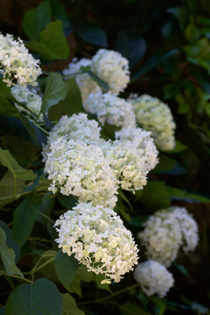 beautiful white hydrangea flowers and green leaves in summer