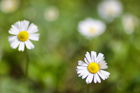 selective focus on a beautiful daisy in a field, blurred background Stock Photo