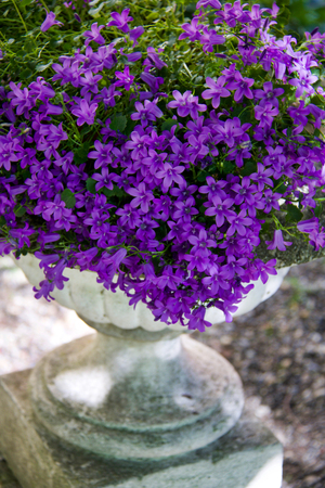 luxuriant plant of violet campanula medium in old  cement pot