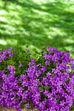luxuriant violet campanula medium plant in ornamental garden, copy space Stock Photo