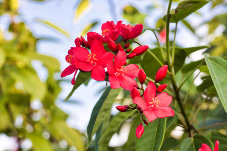 selective focus on beautiful red flowers and buds in bloom Stock Photo