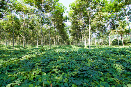 green leaves carpet under rubber trees plantation, sulawesi island