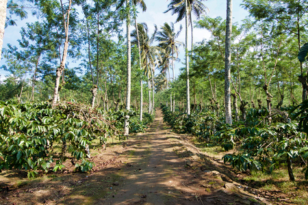 coffee plantations in center  sulawesi island, indonesia