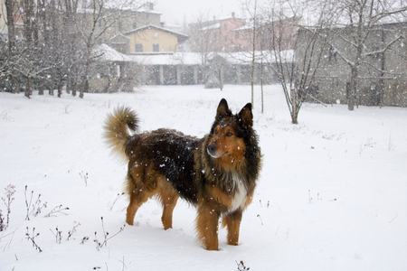 beautiful brown collie standing in the snow during a snowfall in a village