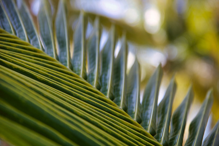 detail of  exotic new palm leaf , natur background Stock Photo