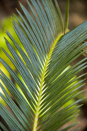 soft focus on new palm leaf in a tropical garden Stock Photo