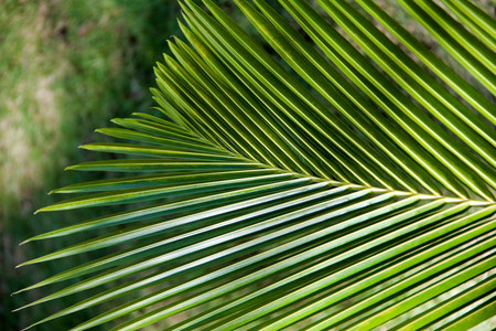 close up of new green palm leaf in nature Stock Photo