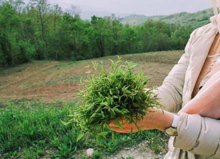 woman holding a bunch of wild herbs, sprouts of clematis vitalba