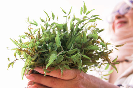 woman hands holding a bunch of wild herbs, sprouts of clematis vitalba