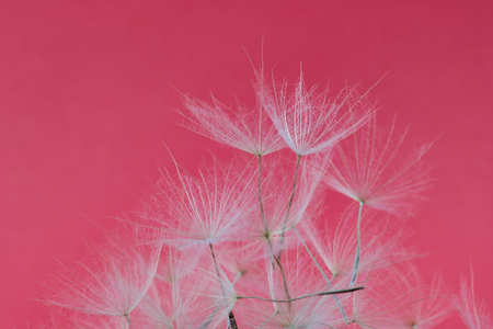 texture of dry dandelion petals on magenta background 스톡 콘텐츠
