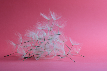 group of dry dandelion petals on pink background 스톡 콘텐츠