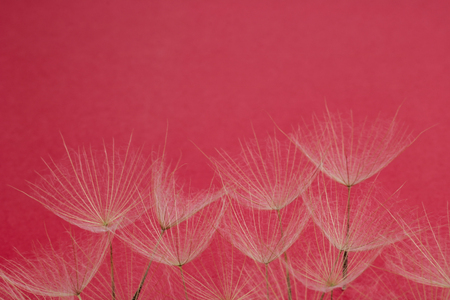 close up of dandelion petals on magenta background, floral pattern 스톡 콘텐츠