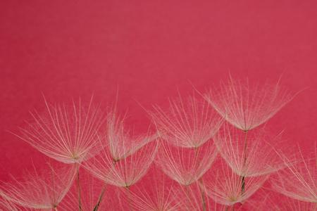 close up of dandelion petals on magenta background, floral pattern Stock Photo