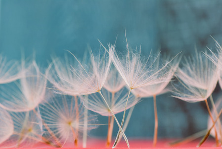 texture of dry dandelion petals fallen from the flower on blue background
