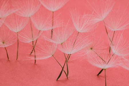 close up of group of dandelion petals standing on millennial pink background