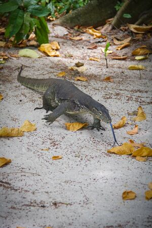 lizard with forked tongue walking on the sand, kalimantan