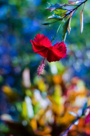 soft focus on a beautiful red hibiscus flower, defocused multicolor background