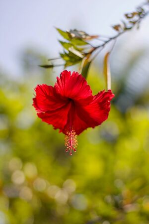 close up of red hibiscus on green defocused background
