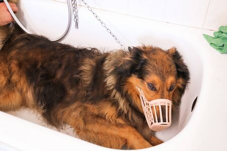 collie dog tied with chain with muzzle in a white tub grooming Stock Photo