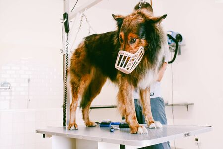 collie dog  with muzzle standing in the groomer shop for grooming Stock Photo