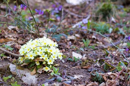 group of yellow primroses in bloom in the forest in springtime