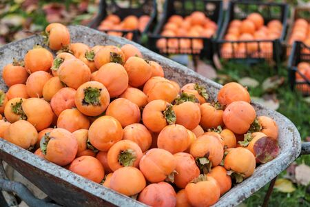 close up of large group of persimmons just picked to be placed in boxes