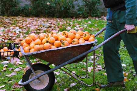 man in work clothes pushes a whellbarrow full of persimmons just picked