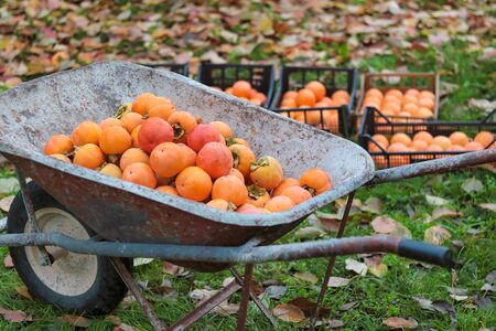old whellbarrow full of persimmons freshly picked in autumn Stock Photo