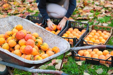 whellbarrow full of persimmons freshly picked to be placed in the boxes