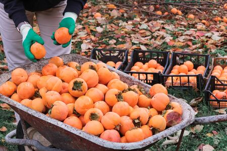 woman hands with gloves arranging persimmons just picked in black boxes