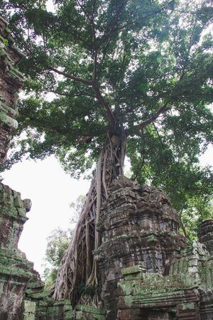 long tree roots grow in the ruins of ta prohm temple, Cambodia Stock Photo