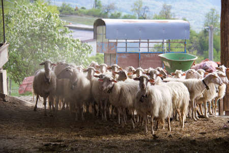 flock of sheep returns to the fold on the hills, copy space