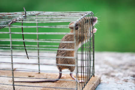 standing mouse tries to get out of old iron and wooden cage