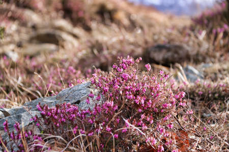 selective focus on small flowers of cinerea heather in the nature near a stone
